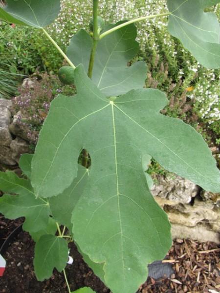 Ficus carica 'Cuore D'oro'