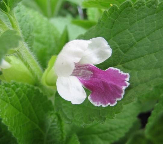 Melittis melissophyllum 'Royal Velvet Distinction' (S)