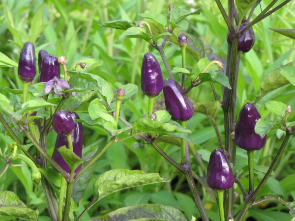 Capsicum sp. 'Ecuador Purple'