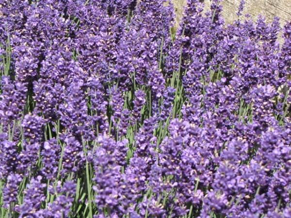 Lavandula angustifolia 'Hidcote Blue'