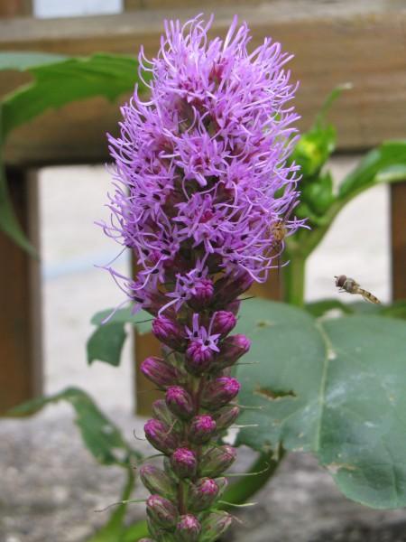 Liatris spicata 'Floristan Violett'