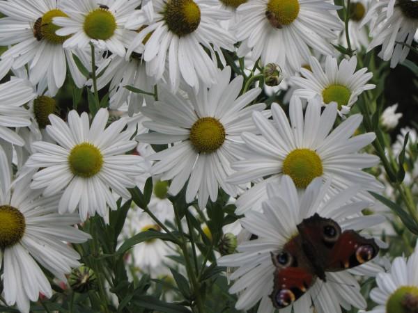 Chrysanthemum (Leucanthemella) serotina 'Herbststern'