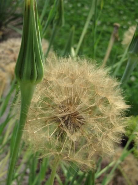 Tragopogon porrifolius; ausverkauft