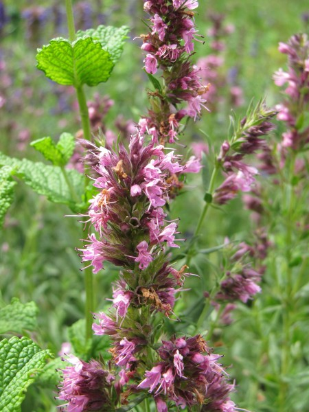 Hyssopus officinalis 'Roseus'; ausverkauft