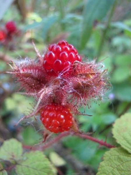 Rubus phoeniculasius