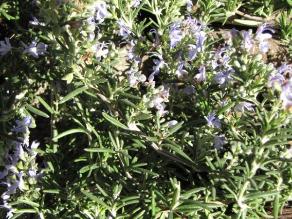 Rosmarinus officinalis 'Blue Rain'