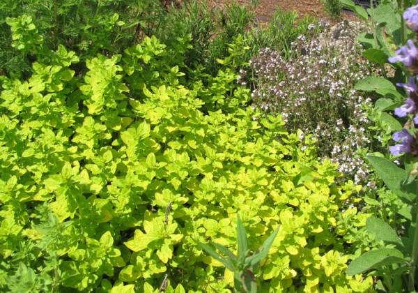 Origanum vulgare variegatum