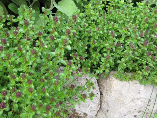 Thymus vulgaris x pulegioides 'Tabor'