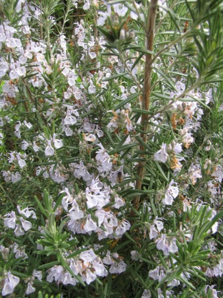 Rosmarinus officinalis 'Blue Winter""