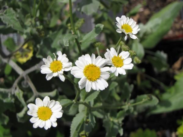 Tanacetum balsamita; ausverkauft