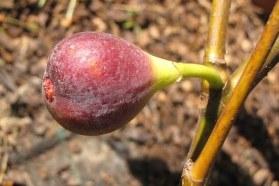 Ficus carica 'Negronne'