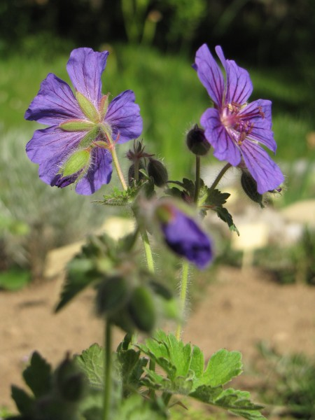 """Geranium x magnificum """"Rosemoor"""""""