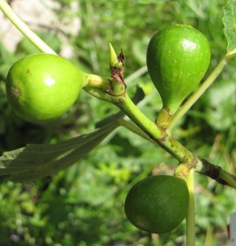 Ficus carica 'Honey Heart'