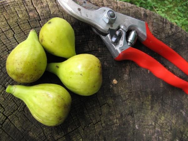Ficus carica 'Pfälzer Fruchtfeige'