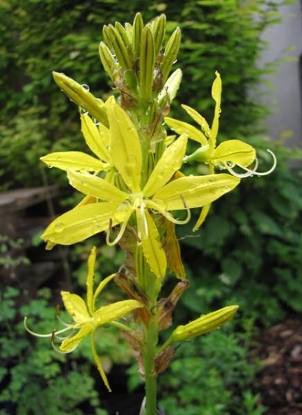 Asphodeline lutea; ausverkauft