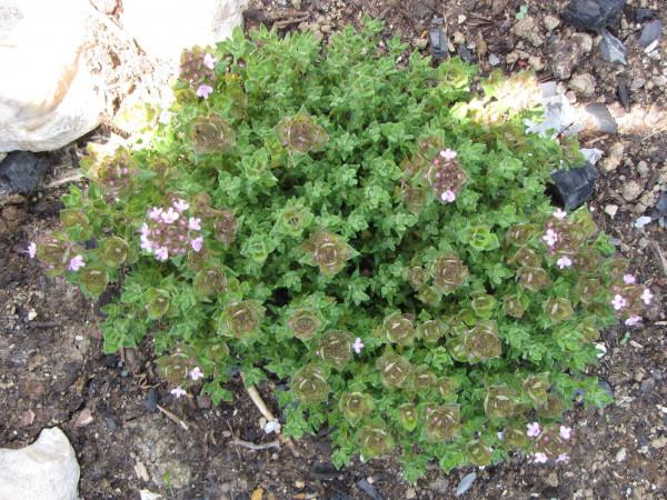 Thymus vulgaris 'Rosenthymian' (S)