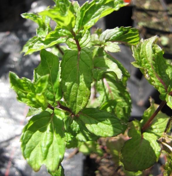 Mentha x cordifolia 'Kentucky Spearmint
