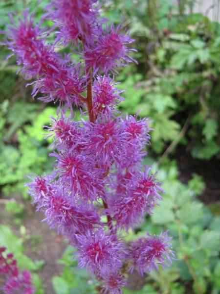 Astilbe var. taquetii 'Purpurlanze'