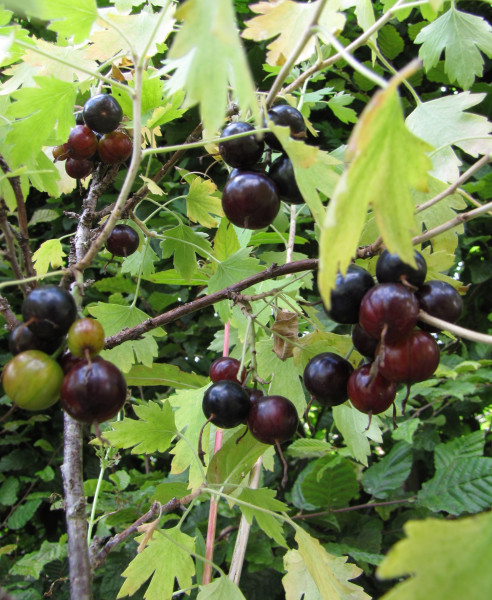 Ribes odoratum 'Idaho'