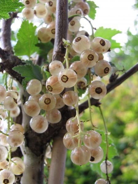 Ribes petraeum 'Weiße aus Jüterbog'; ausverkauft
