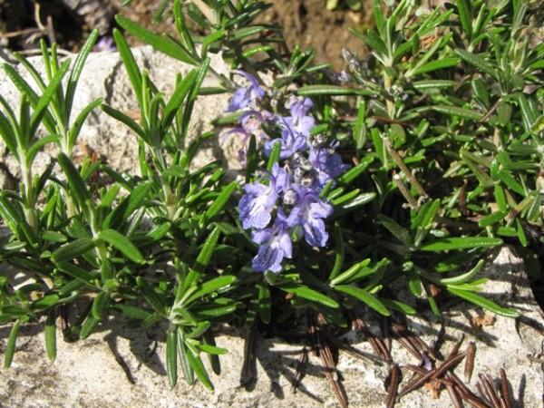 Rosmarinus officinalis 'Severn Sea'