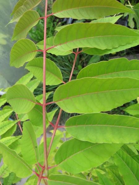 Toona sinensis (Cedrela sinensis)