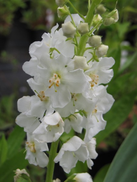 Verbascum phoenicum 'Flush of White'