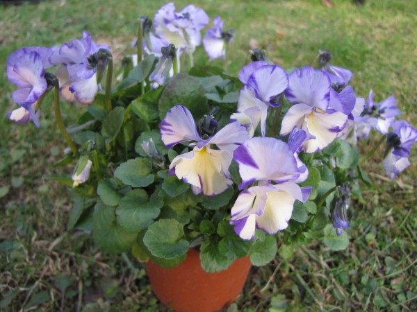 Viola pubescens 'Rebecca'