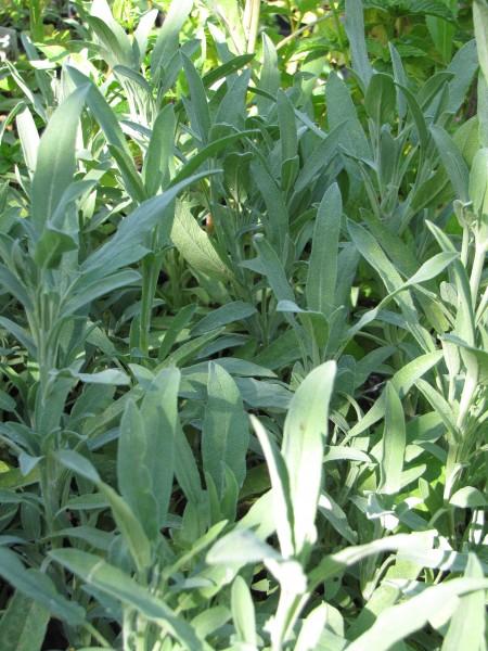 Salvia officinalis 'Grete Stölzle'; ausverkauft