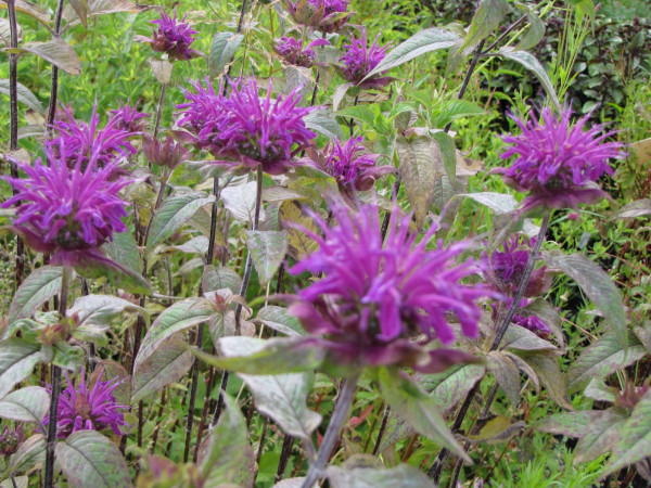 Monarda fistulosa 'Trinity Purple'