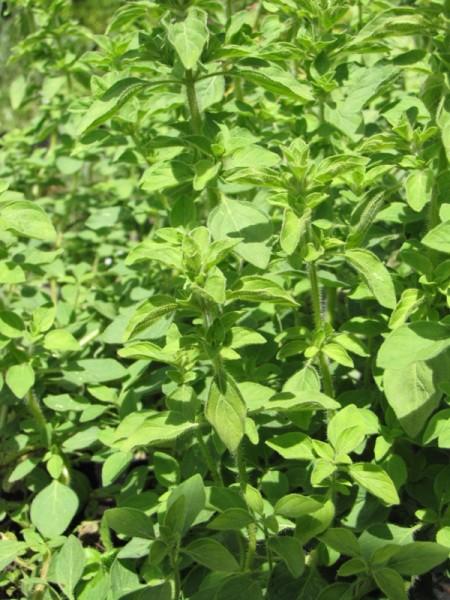 Origanum vulgare 'Hot and Spicy'