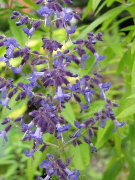 Perovskia abrotanoides