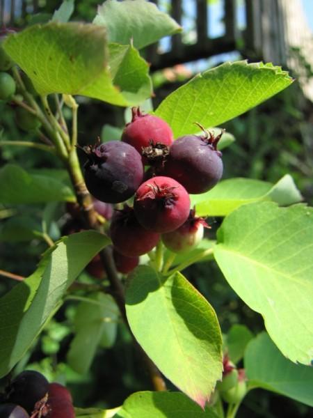 Amelanchier alnifolia 'Honeywood'
