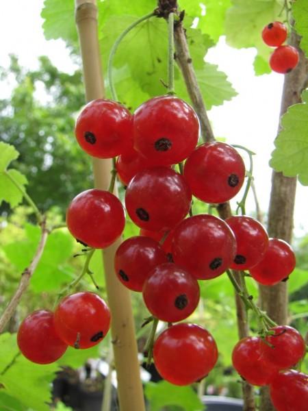Ribes rubrum 'Prinz Albert'