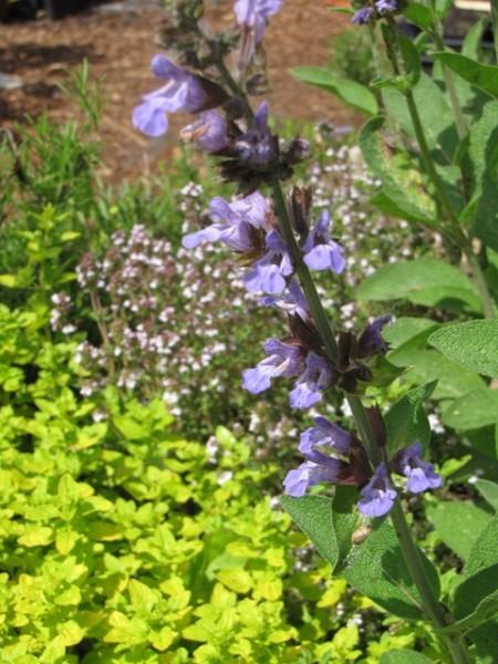 Salvia officinalis 'Dalmatinischer Salbei'