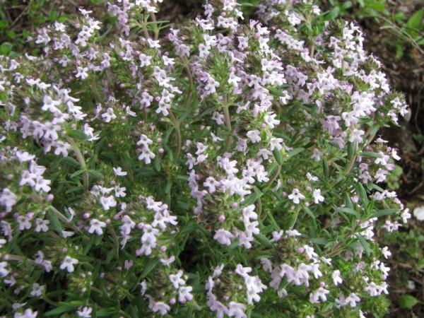 Thymus fragrantissimus