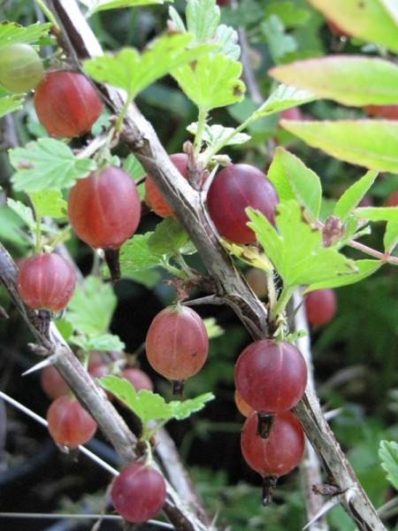 Ribes uva-crispa 'Hinnonmäki rot'