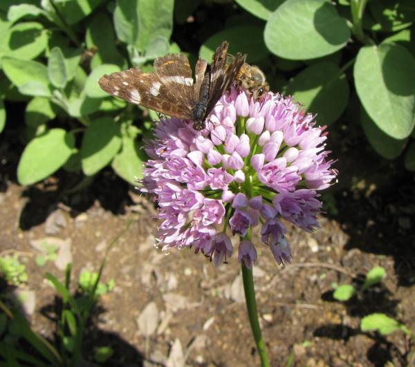 Allium senescens ssp. senescens