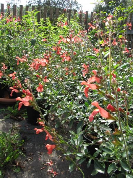 Salvia jamensis