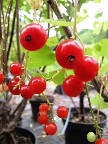 Ribes rubrum 'Rolan'