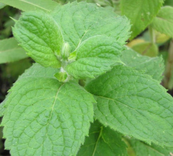Mentha rotundifolia 'Bowles Apfelminze'; ausverkauft