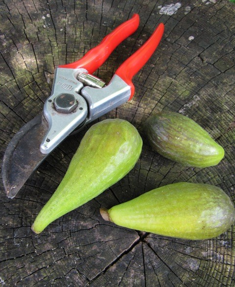 Ficus carica 'Frühe Dalmatiner'
