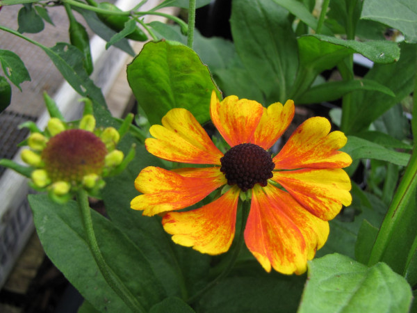 Helenium hybr. 'Sahin's Early Flowerer'®