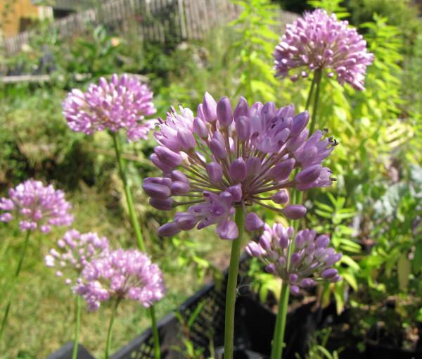 Allium hybr. 'Quattro'