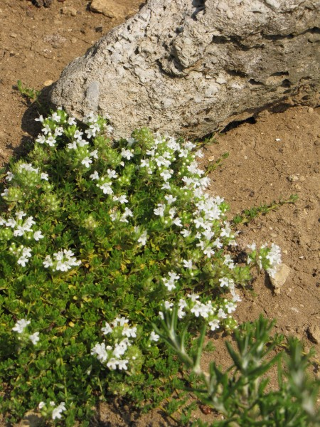 Thymus serpyllum 'Alba';