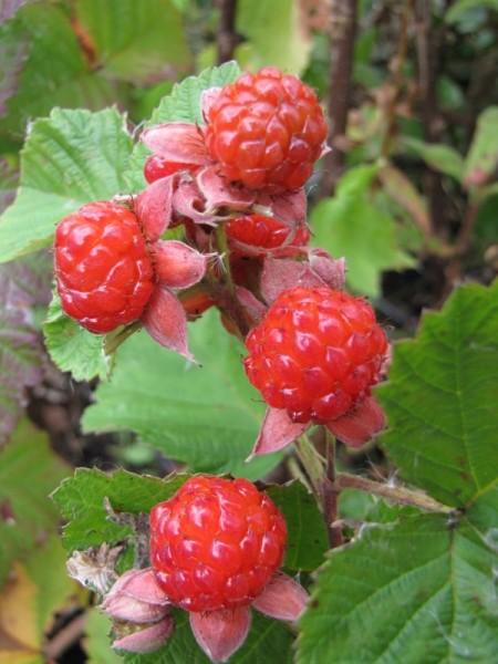 Rubus parvifolius x idaeus Dorsett 'Dorman Red'