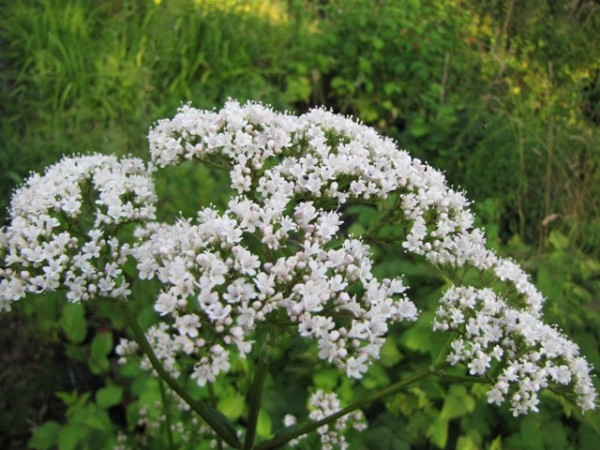 Valeriana officinalis 'Anthos'